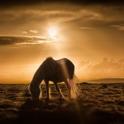 Gower pony at sunset on Cefn Bryn Gower