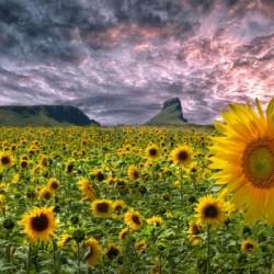 Sunflowers on the Gower peninsula