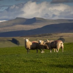 Sheep on the Brecon Beacons