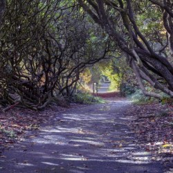 Tree lined Rhododendron walkway