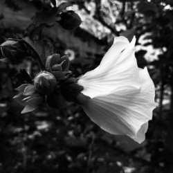 Blooming flower in black and white