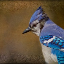 Blue Jay with texture