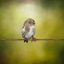 Redpoll on a Wire