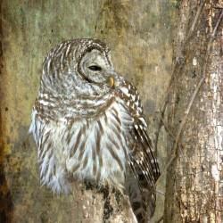 Grungy Owl
