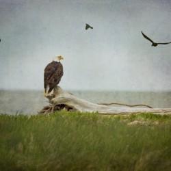 Bald Eagle on Tree Trunk