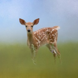 Spotty the Fawn