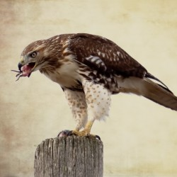 Meal Time for a Hawk