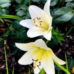 white lilies displate