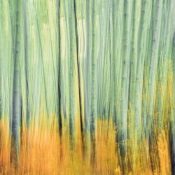 Aspen Trees in movement