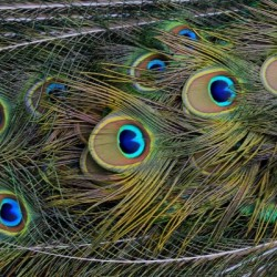 peacock tail feathers close up