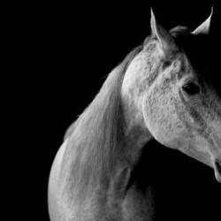 Studio Horses