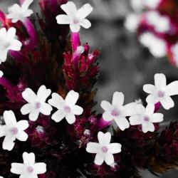 White bloom