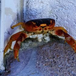 Cayman Cornered Crab