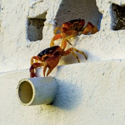 Cayman Crabs