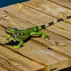 Cayman Green Iguana On Alert