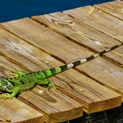 Cayman Green Iguana Eating