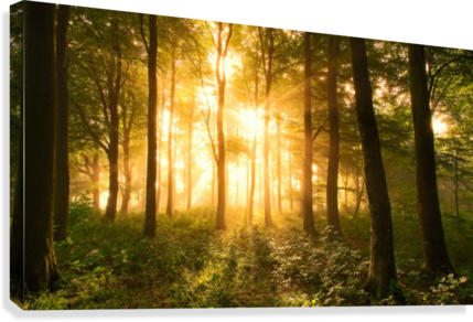 Light in the Forest.  Canvas Print