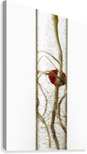 A corn seedling in a test tube on white background; Iowa, United States of America  Canvas Print