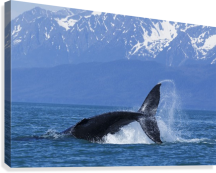 A HUMPBACK WHALE CALF FROLICKS IN LYNN CANAL NEAR BERNERS BAY, INSIDE PASSAGE, ALASKA PACIFICSTOCK  Canvas Print