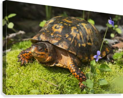 EASTERN BOX TURTLE ON SPHAGNUM MOSS AMONG BLUE VIOLETS; CONNECTICUT, USA PACIFICSTOCK  Canvas Print