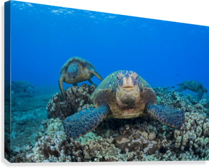 Several green sea turtles (Chelonia mydas), an endangered species, gather at a cleaning station off West Maui; Maui, Hawaii, United States of America  Canvas Print