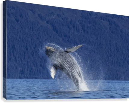A young Humpback Whale leaps from the calm waters of the Stephens Passage near Tracy Arm, Southeast Alaska, USA.  Canvas Print