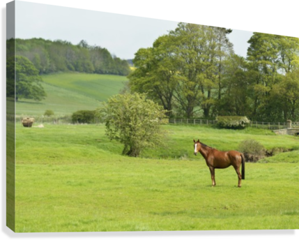 Horse in field; Morpeth, Northumberland, England  Canvas Print