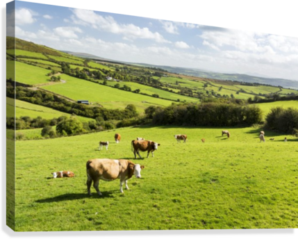 CATTLE GRAZING ON LUSH GREEN HILLY PASTURES WITH TREES SEPARATING FIELDS; COUNTY KERRY, IRELAND PACIFICSTOCK  Canvas Print