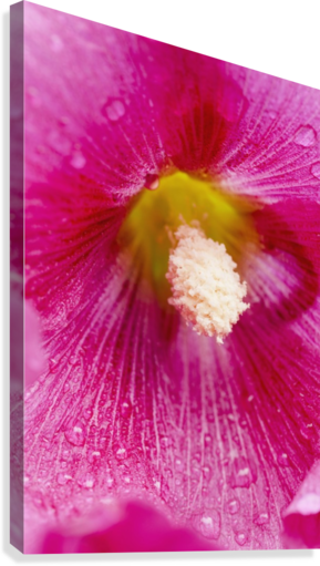Close up of Hollyhocks (Alcea rosea); Quebec, Canada  Canvas Print
