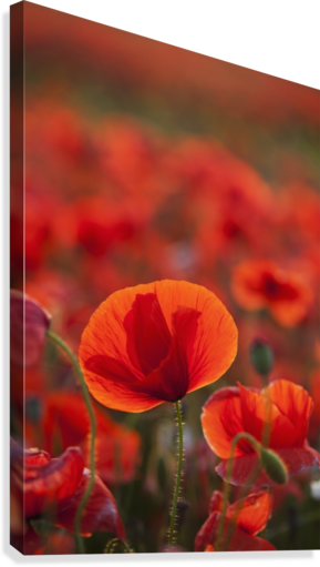 Common Poppy (Papaver rhoeas) covering an arable field; North Yorkshire, England  Canvas Print