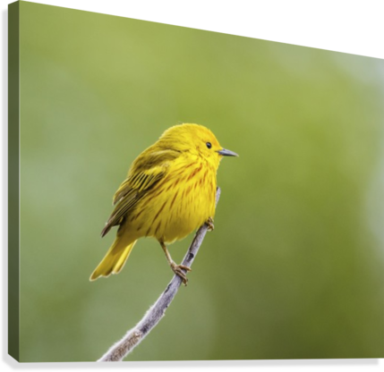 Yellow warbler (Setophaga petechia) perched during spring time; Chateauguay, Quebec, Canada  Canvas Print