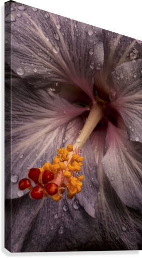 Close up of a Hibiscus flower with water droplets; Hawaii, United States of America  Canvas Print