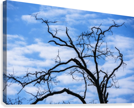 A dead tree is silhouetted against the sky; Tahlequah, Oklahoma, United States of America  Canvas Print