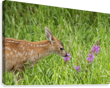 Sitka Black-tailed deer fawn (Odocoileus hemionus sitkensis) munches on fireweed (Chamerion angustifolium) in pasture, captive animal at the Alaska Wildlife Conservation Centre; Portage, Alaska, United States of America  Canvas Print