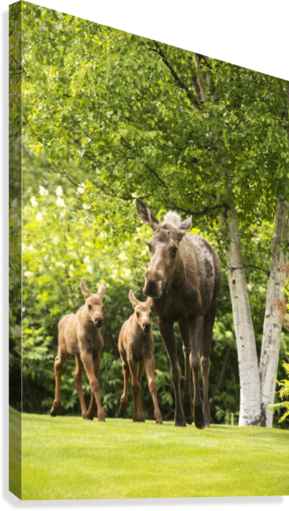 A cow moose (alces alces) with her calves on green grass with lush green foliage; Anchorage, Alaska, United States of America  Canvas Print