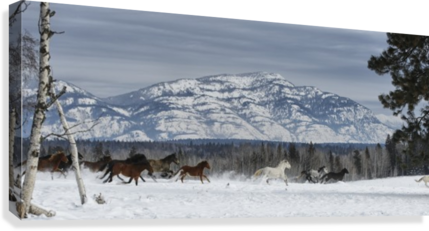 Horses running in the snow on a ranch in winter; Montana, United States of America  Canvas Print