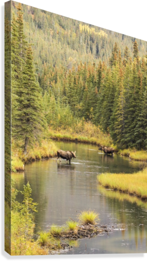 Bull and cow moose (alces alces) feeding in a shallow pond south of Cantwell, photo taken from Parks Highway common moose habitat; Alaska, United States of America  Canvas Print