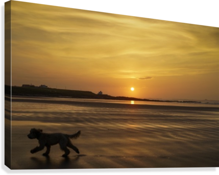 A dog runs across a wet beach with the golden sun setting in an orange sky along the coast and Bamburgh Castle in the distance; Bamburgh, Northumberland, England  Canvas Print