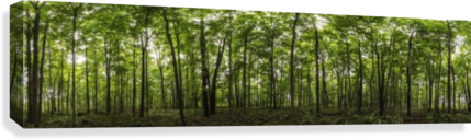Panoramic image of a deciduous forest; Ontario, Canada  Canvas Print