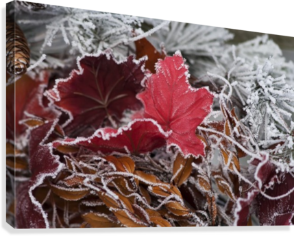 Hoarfrost covers holiday decorations on a wreath, Christmas season; Minnesota, United States of America  Canvas Print