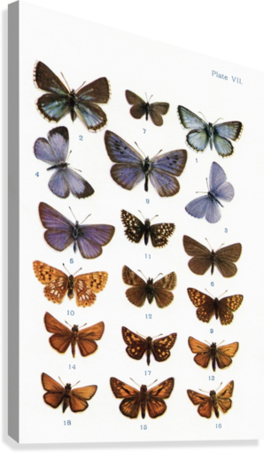 Different types of butterflies. Illustration by W.S.Furneaux. From the book Butterflies, Moths and Other Insects and Creatures of the Countryside. Published 1927.  Canvas Print