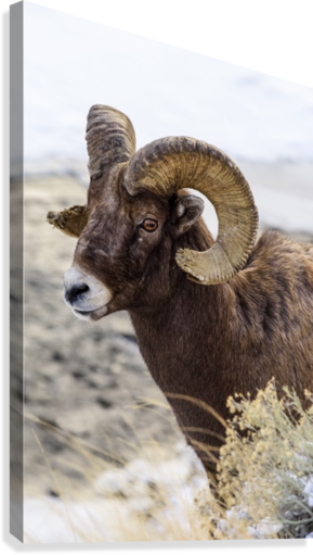 Close up of Bighorn ram (ovis canadensis) with broomed (splintered) horn tips resulting from butting heads with other rams, Shoshone National Forest; Wyoming, United States of America  Canvas Print