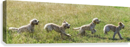 Composite of a blond cockapoo running across a grass field; South Shields, Tyne and Wear, England