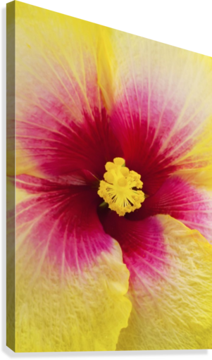 Close-up macro shot of a beautiful red and yellow Hibiscus flower; Honolulu, Oahu, Hawaii, United States of America  Canvas Print