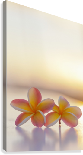 Close-up of a pair of beautiful yellow and pink Plumeria flowers (Apocynaceae) with sunset lighting the background; Honolulu, Oahu, Hawaii, United States of America  Canvas Print