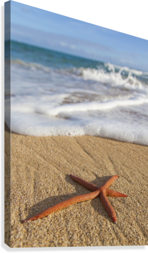 A red live Finger Starfish, also known as Linckia Sea Star, found along a sandy beach with white ocean tide washing up; Honolulu, Oahu, Hawaii, United States of America  Canvas Print