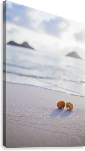 A set of two rare Hawaiian Sunrise Scallop Seashells, also known as Pecten Langfordi, in the sand at Lanikai beach, with Mokulua islands in background; Honolulu, Oahu, Hawaii, United States of America  Canvas Print