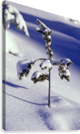 Heavy Snow On Young Pine Tree  Canvas Print