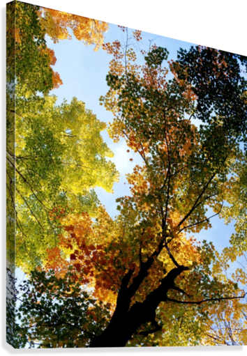 Autumn Trees Low-Angle  Canvas Print