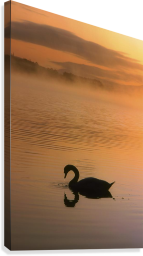 Lough Leane, Lakes Of Killarney, Co Kerry, Ireland; Silhouetted Swan  Canvas Print